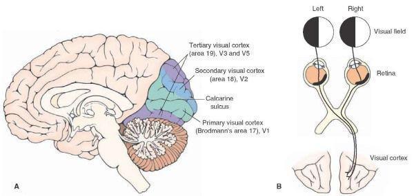 Η δομή του οπτικού εγκεφάλου καθορίζει τη μορφή και τα όρια της οπτικής αντίληψης.