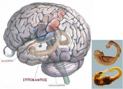 Ιππόκαμπος το όργανο που φτιάχνει νέα εγκεφαλικά κύτταρα δηλαδή νέους νευρώνες.